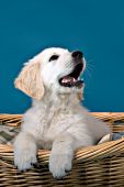 English cream golden retr. puppy in a wicker bed