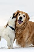 Adult golden playing with a cream golden puppy in snow