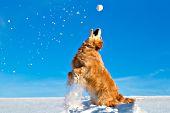 Golden retriever standing up to catch a snowball