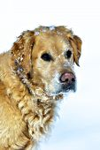Golden retriever with snow on his face