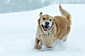 Happy golden retriever running in a snowstorm