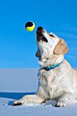 English cream golden retriever tossing a ball in the air