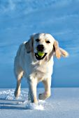 English cream golden retriever playing with a ball in snow