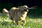 Golden retriever with a stick running in a spring meadow