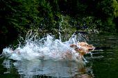 Golden retriever splashing as she jumps in a lake