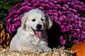 English cream golden retriever puppy and flowers