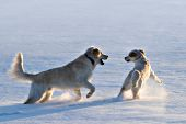 2 English cream goldens playing in the snow