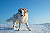 English cream golden retr. playing with a blue ball in snow