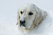 English cream golden buried in snow up to his neck