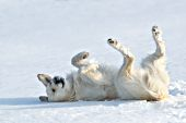 English cream golden rolling on his back in snow