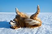 Happy golden retriever rolling on her back in snow
