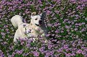 English cream golden running in a field of wild bergamot