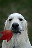 English cream golden holding a maple leaf in his mouth