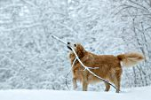 Golden retriever playing with a stick in fresh snow