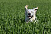 English cream retriever running in a wheat field