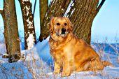 Winter golden retriever posing at sunset