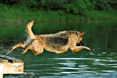 German shepherd jumping in a pond