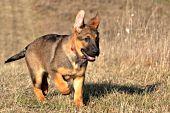 German shepherd puppy running in autumn grass