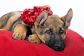 German shepherd puppy decked out in a red bow