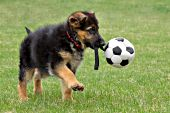 German shepherd puppy playing with a soccer ball