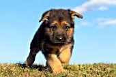 German shepherd puppy running in grass