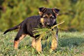 German shepherd puppy playing with a pine branch