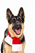 German shepherd wearing a holiday scarf