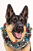 Festive German shepherd wearing a holiday wreath