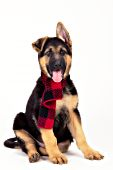 German shepherd puppy wearing a red scarf