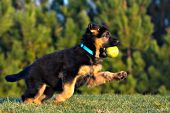 German shepherd puppy running & playing with a tennis ball
