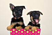 Two German shepherd puppies in a pink & green box