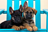 Two German shepherd puppies in a blue adirondack chair