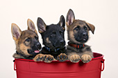 Three German shepherd puppies in a red washtub
