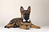 German shepherd puppy wearing a white bow tie