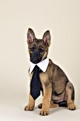 German shepherd puppy wearing a necktie