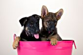 Pair of shepherd puppies (black & sable) in a pink washtub