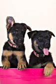 Pair of shepherd puppies in a pink washtub