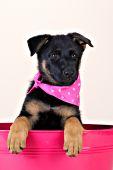 German shepherd puppy in a pink washtub