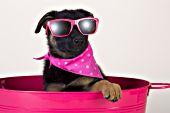 German shepherd puppy wearing pink sunglasses & a bandana