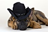 German shepherd puppy wearing a cowboy hat