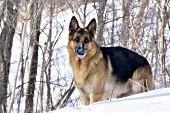 German shepherd in snowy woods