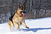 German shepherd running in snow