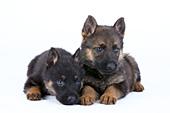 Pair of 5 week-old shepherd puppies
