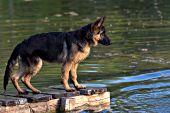 Adolescent German shepherd standing on a dock