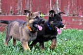 Two German shepherd puppies running in grass