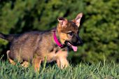 German shepherd puppy playing in the grass
