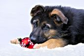 German shepherd puppy with an ornament in the snow