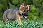 German shepherd puppy playing in tall grass