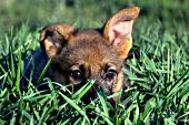 German shepherd puppy hiding in tall grass