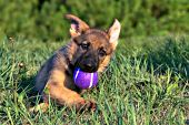 German shepherd puppy playing with a purple tennis ball